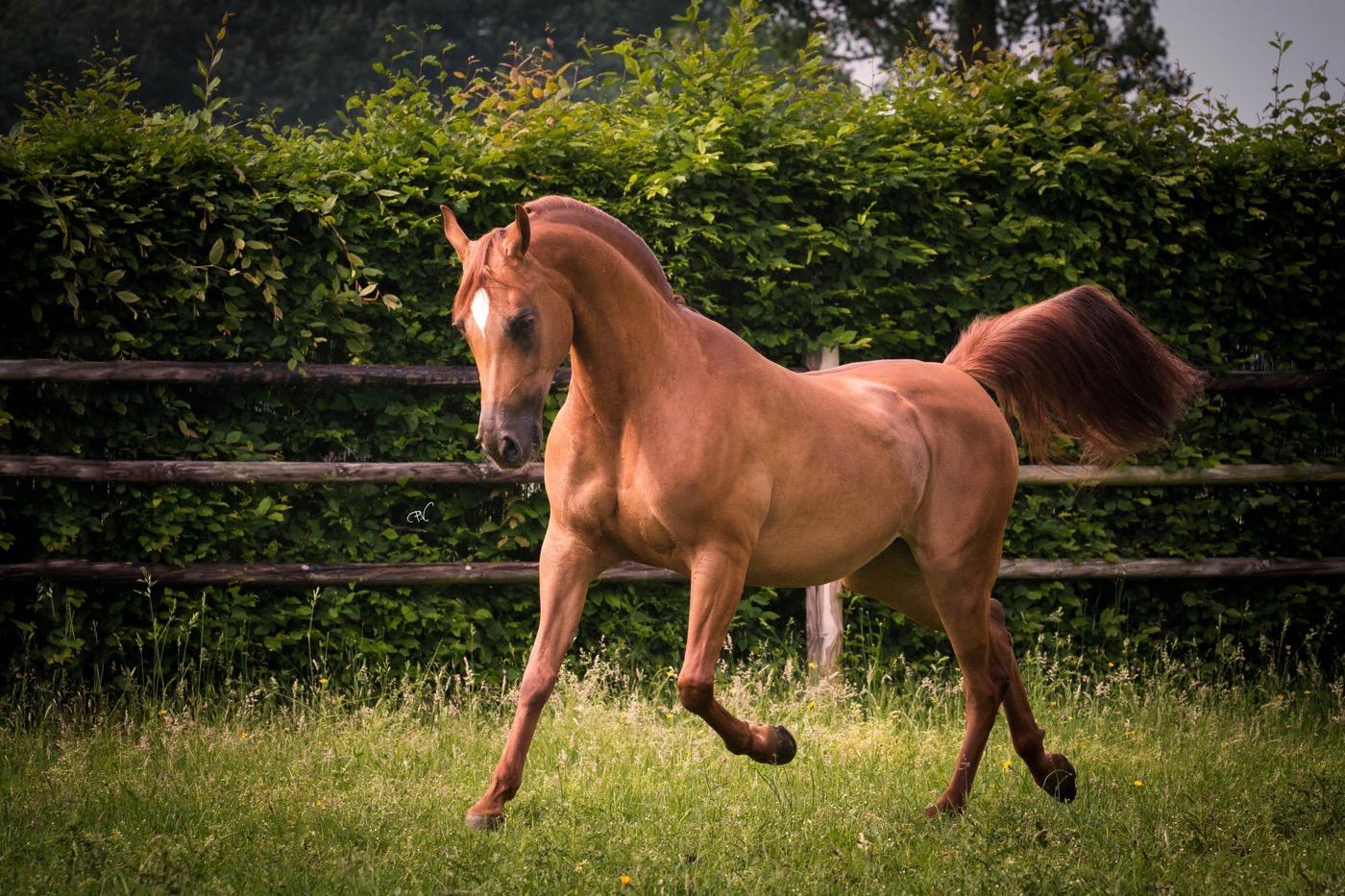 VDB_ARABIANS_HORSES07