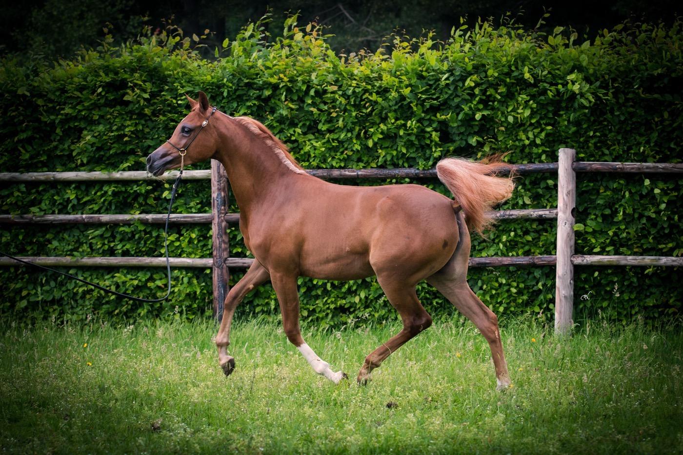 VDB_ARABIANS_HORSES21
