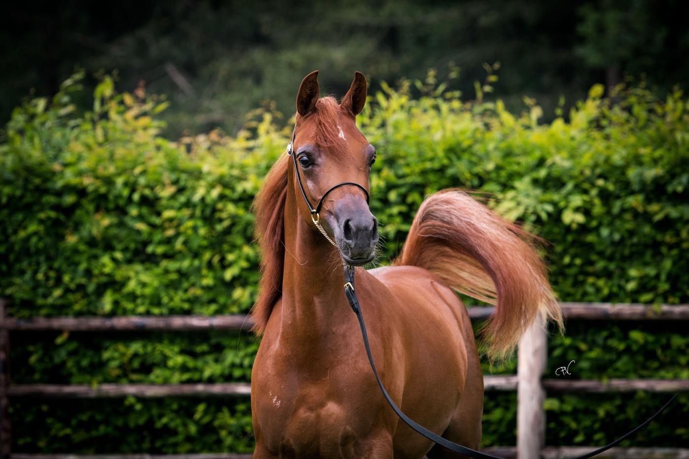 VDB_ARABIANS_HORSES22