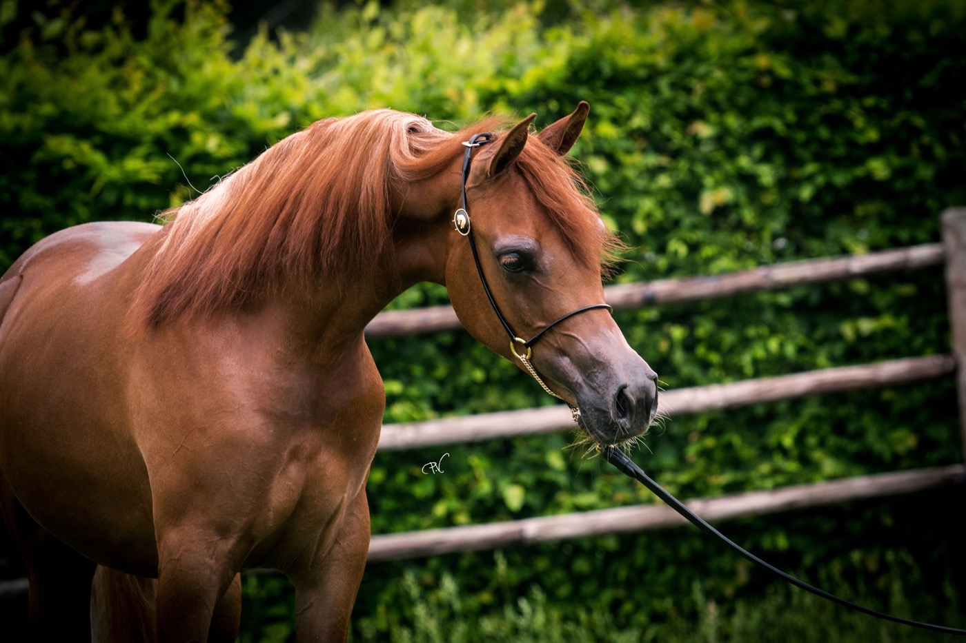 VDB_ARABIANS_HORSES23