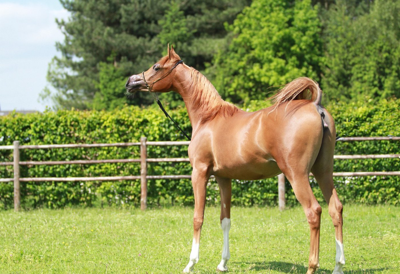 VDB_ARABIANS_HORSES26