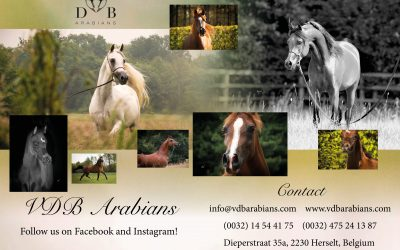 New VDB Arabians Flyerdesign